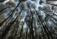 Hutan Pinus Jogja