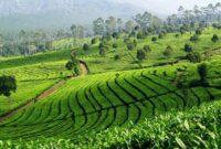 Kebun Teh Sukawana Bandung